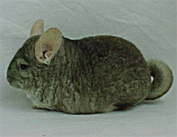 112304-chinchillas.png